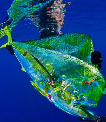 A mahi-mahi, taken freediving